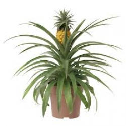 images_ananas_1